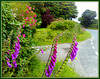 Cornish foxgloves waiting for a lift.