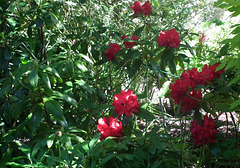Red Rhodedendron which is halfway down on the left of the path!