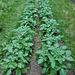 Kartoffelanbau (PiP)