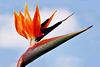 Wie ein Paradiesvogel - Papageienblume - Strelitzia reginae