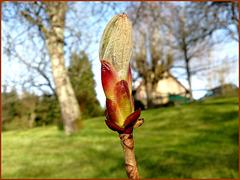 Je suis un bébé marronnier, et j'ai une histoire.. I am a baby chestnut tree, and I have a history..