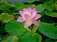 Une variété de lotus...
