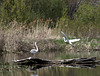11/50 grande aigrette-great egret