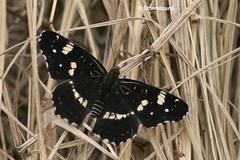 Map Butterfly (Araschnia levana) - F protsa) Esrum Lake Summer version Jn02 02