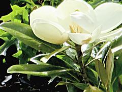 Wonderful Magnolia