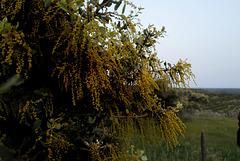 Quercus ilex, Azinheira