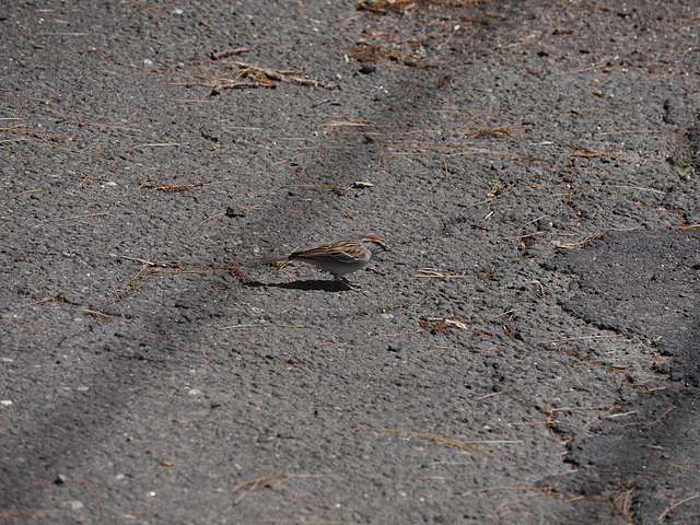 Sparrow on Tarmac