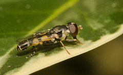 HoverflyIMG 3440