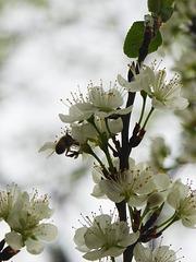 l'ape irruente