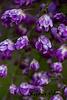 double wisteria 2