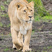 Lioness walkabout