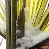 Coupe de neige givrée..au coeur de mon palmier...!