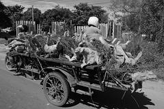 Cambodia - pigs go to the market