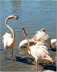 dispute de flamants roses