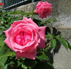Une rose pour tous !