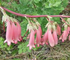FLEUR INCONNUE / UNKNOWN FLOWER