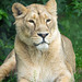 Lioness.4jpg