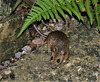 Wood Mouse in the garden.