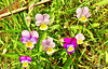 Heartsease in grass