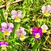 Heartsease in grass