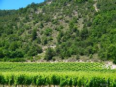 Du vert dans les vignes************