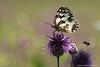 Le Demi-deuil et l'abeille