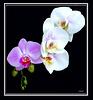 Sundays Orchid... ©UdoSm