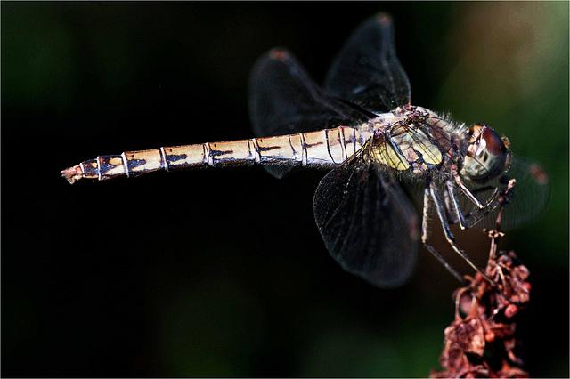 Profil de libellule