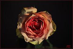 ~Brocante Rose in her last days~