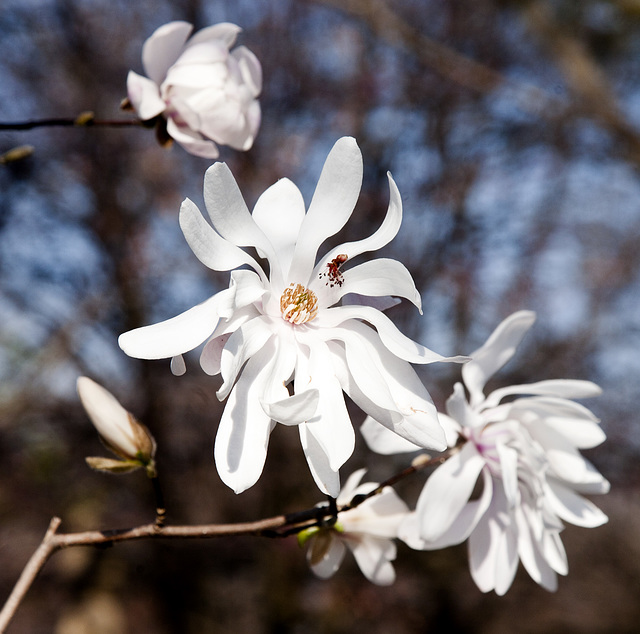 Star Magnolia and friend