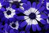 Cineraria (Senecio hybridus) 4 044 copy