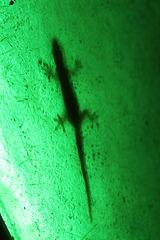 A Gecko, Hiding