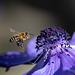 Anemone CORANIAria