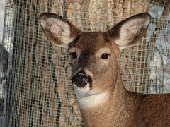 Sweet White-tailed doe