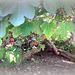 L'albero del fico con le sue radici bizzarre!