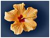 Malvaceae (PiP)