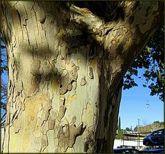 Plane tree; unmistakable patterning.