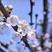 Aprikosenblüten (PicinPic)