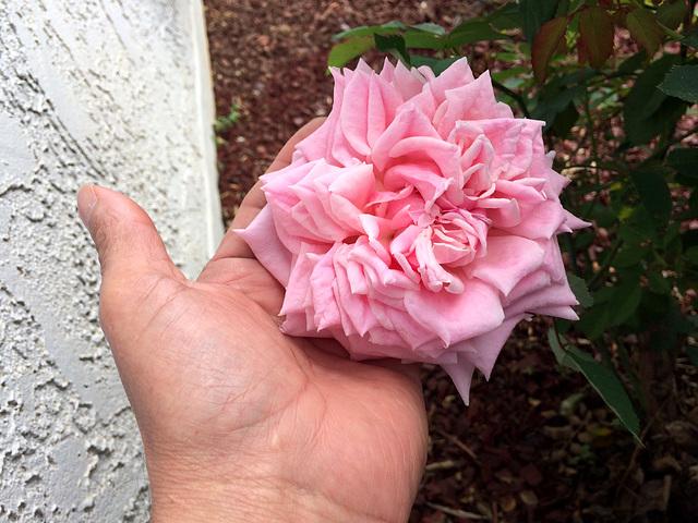 Rosas del Amor