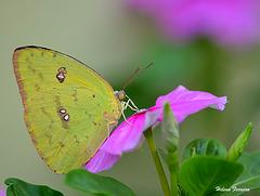 Lemon Butterfly.