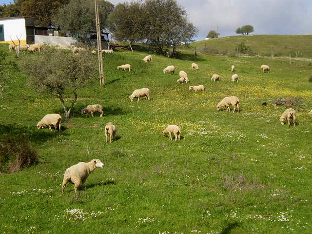 Sheep grazing on roadside field.