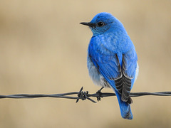 Mountain Bluebird male / Sialia currucoides