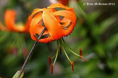 Lilium Lancifolium (Turk's Head lily) Explore  029 copy