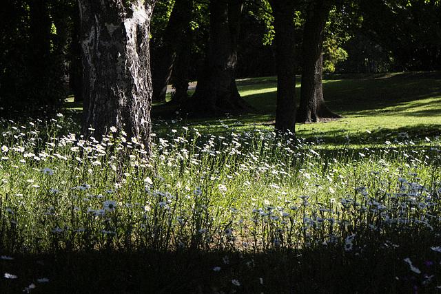 Ox-Eye Daisies, Levengrove Park, Dumbarton