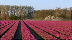 Tulips in the Flevopolder, Netherlands (=PiP)