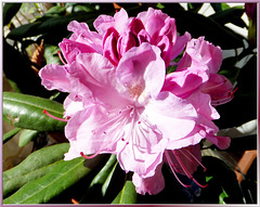 Rhododendron, Day 3. ©UdoSm