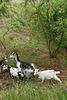 Les chèvres du château