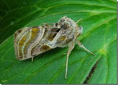 Euchalcia variabilis - Imago.