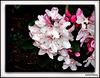 Flowering Cherry .