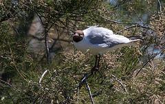 20150518 7871VRTw [R~F] Lachmöwe (Chroicocephalus ridibundus), Parc Ornithologique, Camargue